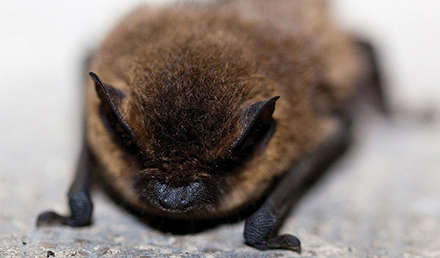 Little brown bat on the ground