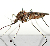 A mosquito on a shiny surface
