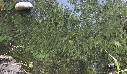 Toxic Algae along the shoreline in Spanaway Lake